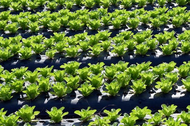 Vue d'ensemble de la plantation de laitue Photo Premium