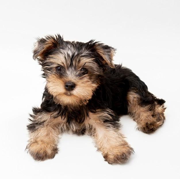 Vue De Face De L'adorable Yorkshire Terrier Photo Premium