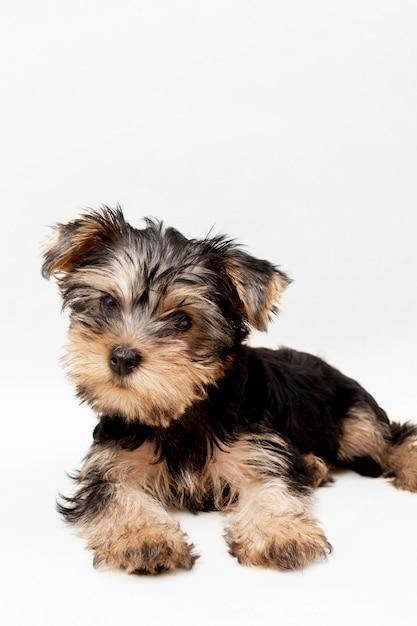 Vue De Face Du Charmant Chiot Yorkshire Terrier Avec Espace Copie Photo Premium