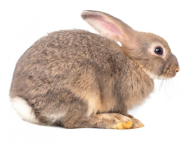 Vue intérieure du gris jeune lapin mignon isolé sur blanc. Photo Premium