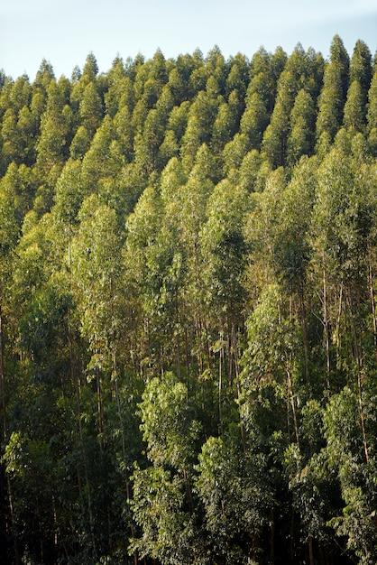Vue large de la plantation d'eucalyptus, à usage industriel Photo Premium