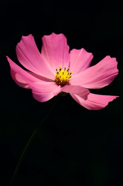 Vue macro fleurs de cosmos en fleurs. paysage de printemps avec bouquet de fleurs roses. Photo Premium