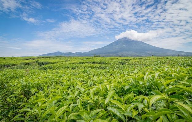 Une Vue De La Montagne De Kerinci De La Plantation De Thé à Kayu Aro, Jambi. Photo Premium