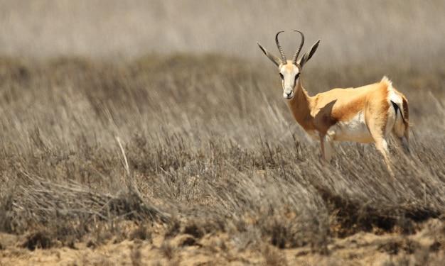 Vue Panoramique D'une Gazelle Debout Sur Le Plan De La Savane Herbeuse Photo gratuit