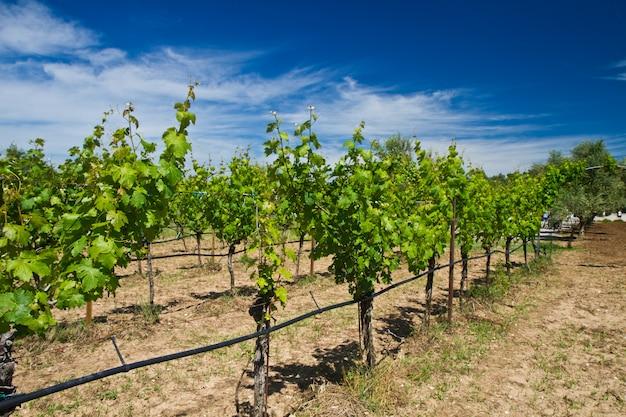 Vue panoramique d'un vignoble Photo Premium