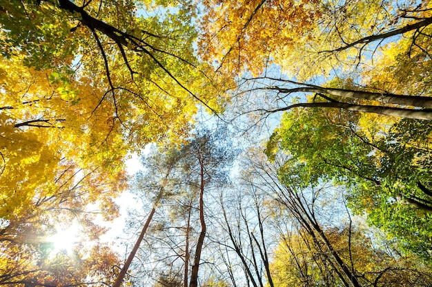 Vue En Perspective De La Forêt D'automne Avec Des Feuilles Orange Et Jaune Vif Photo Premium