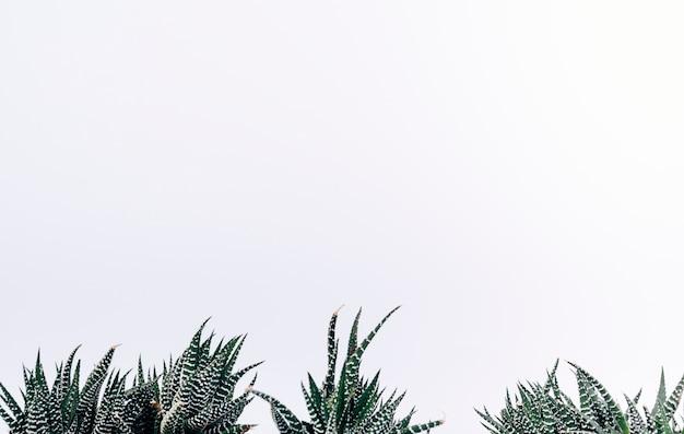 Vue de petites plantes de cactus zèbres Photo gratuit