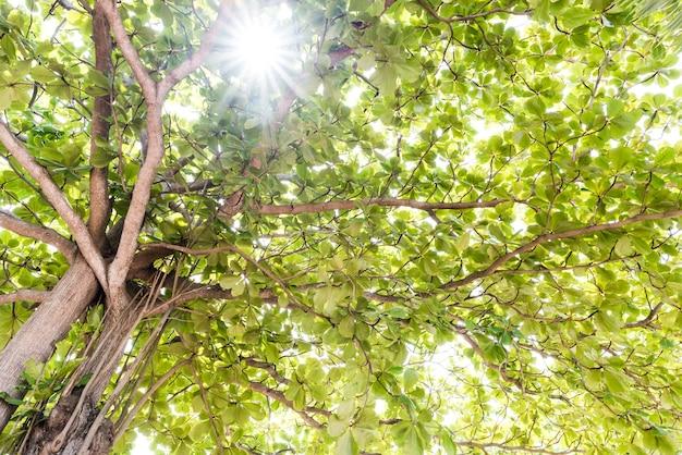 Vue rapprochée de l'ancien et du grand arbre, de la cime des arbres aux feuilles vertes Photo Premium