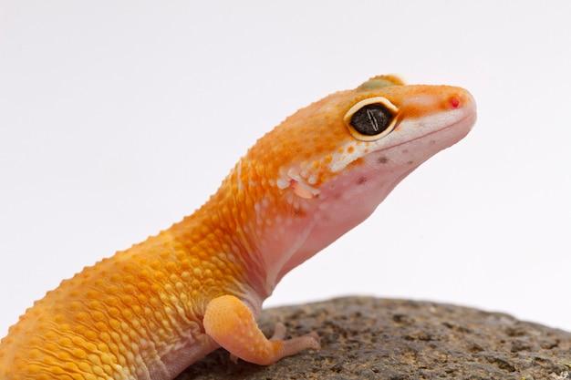 Une vue recadrée d'un gecko léopard tacheté jaune et orange sur blanc Photo Premium
