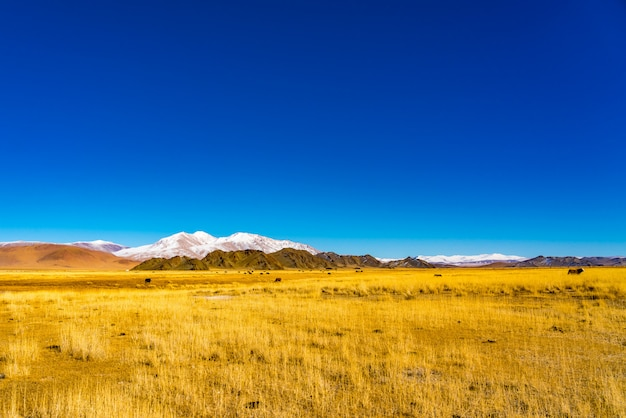 Vue d'un troupeau de vaches mongoles broutant dans une steppe jaune Photo Premium