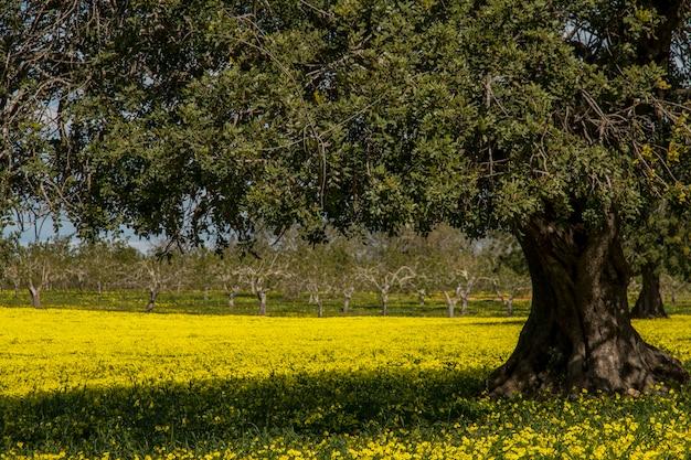 Vue d'un verger de caroubiers dans un champ de fleurs jaunes dans la campagne du portugal. Photo Premium