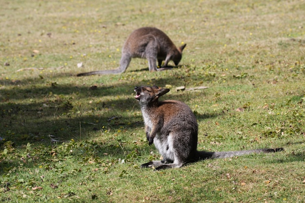Wallaby bennett, kangourou dans un zoo en france Photo Premium