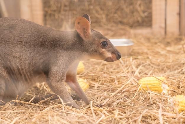 Wallaby ou mini kangaroo Photo gratuit