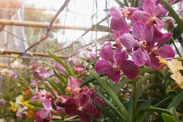 Wanda d'orchidée dans le jardin. Photo Premium
