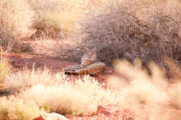 Wild bobcat Photo Premium