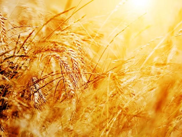 Wisp de blé Photo gratuit
