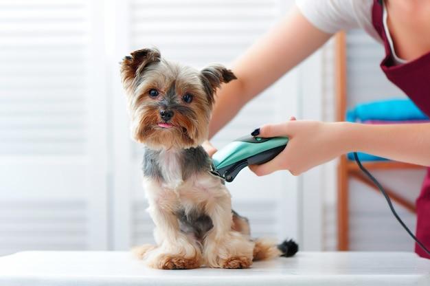 Yorkshire Terrier Chiot Se Coupe Avec Une Machine à Raser | Photo Premium