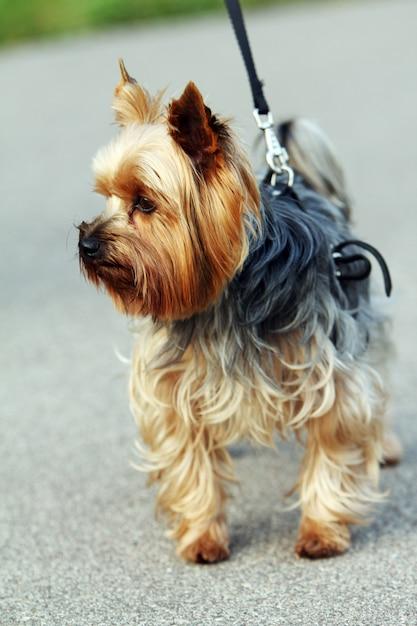 Yorkshire Terrier Mignon Photo gratuit