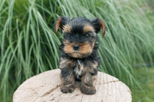 Yorkshire terrier, petit chiot, poser, nature, gros plan Photo Premium