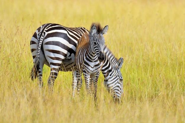 Zèbre Sur Les Prairies En Afrique, Parc National Du Kenya Photo gratuit
