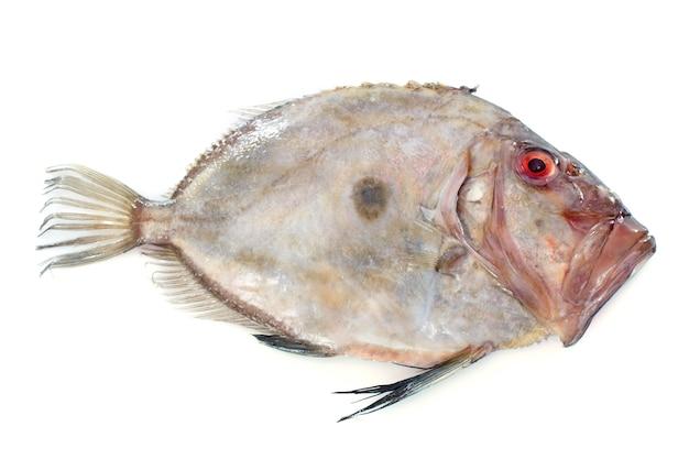 Zeus faber poisson Photo Premium