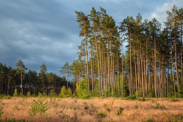 Zone De Déforestation Dans La Forêt De Pins. Photo Premium