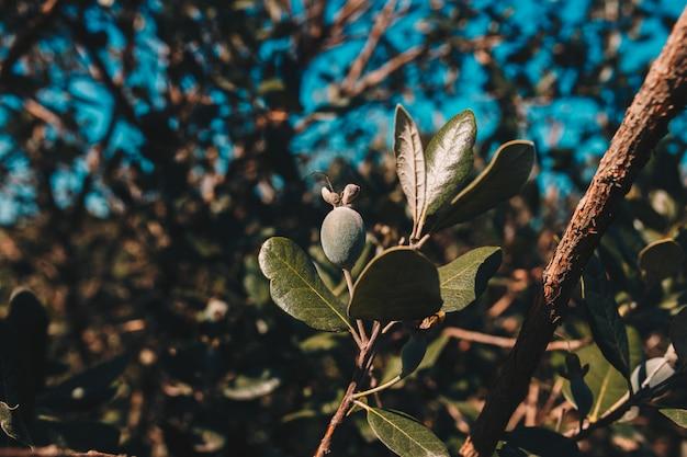 Une zone de plantation de feijoa. Photo gratuit