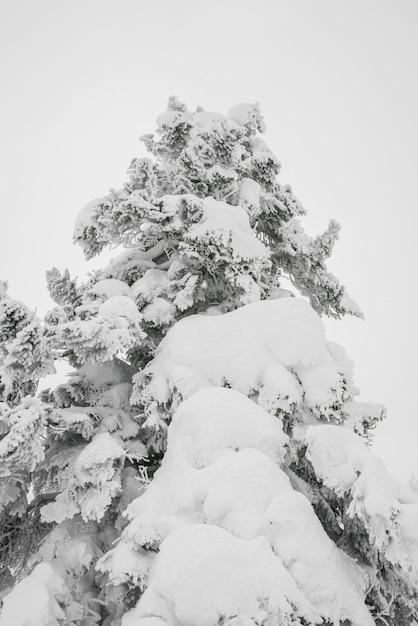 arbre recouvert de neige sur le jour de l 39 orage d 39 hiver dans les montagnes foresti res. Black Bedroom Furniture Sets. Home Design Ideas