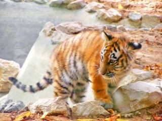 B b tigre de sib rie t l charger des photos gratuitement - Images tigres gratuites ...
