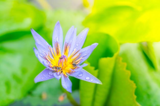 belle fleur de lotus pourpre avec le pollen jaune t l charger des photos gratuitement. Black Bedroom Furniture Sets. Home Design Ideas