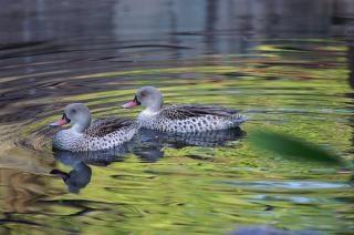 canards - soirée de natation, de l'eau Photo gratuit