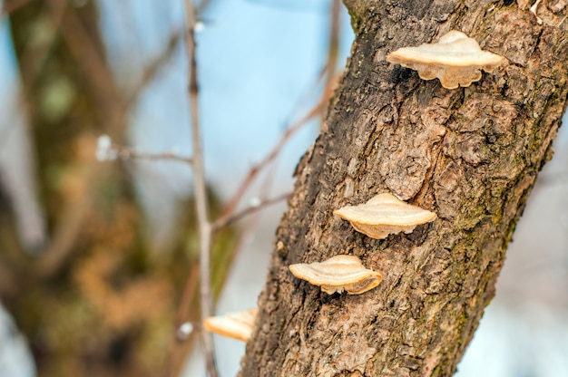 champignons sur l 39 arbre un morceau de tronc d 39 arbre avec des champignons en bois h tre et. Black Bedroom Furniture Sets. Home Design Ideas