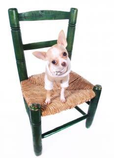 Chien chihuahua assis sur une chaise t l charger des for Abdos assis sur une chaise