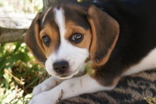 chien, pédigrée Photo gratuit
