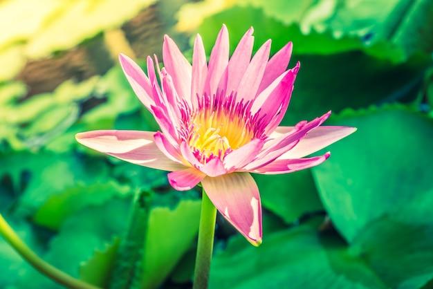 Fleur de lotus t l charger des photos gratuitement - Image fleur de lotus ...