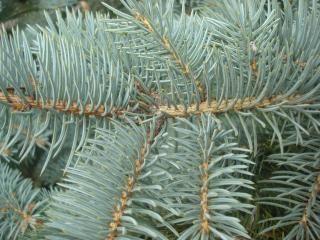 For t de sapin branches t l charger des photos gratuitement - Fabriquer un sapin avec des branches ...