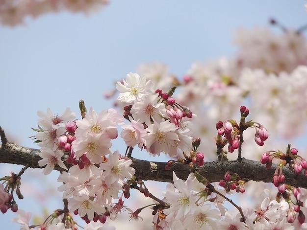 Fruegling fleur nature fleur plante rose | Télécharger des ...
