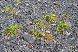 herbe minuscule cro u00eetre entre le gravier