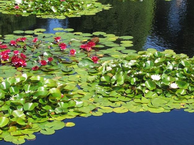 lis aquatique eau du lac lys plante t l charger des photos gratuitement. Black Bedroom Furniture Sets. Home Design Ideas