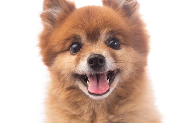 Petit chien rouge couch sur un fond blanc t l charger des photos gratuitement - Petit chien gratuit ...