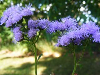 petites fleurs bleues fleurs t l charger des photos gratuitement. Black Bedroom Furniture Sets. Home Design Ideas
