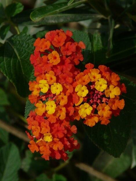 Plante ornementale lantana camara d 39 orange t l charger for Plante ornementale des jardins