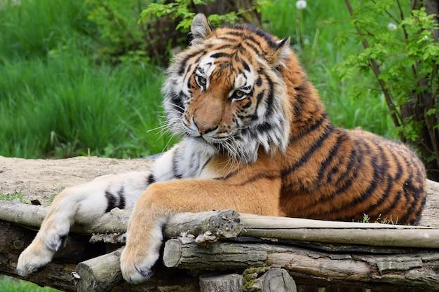Tigres predateur vecteurs et photos gratuites - Images tigres gratuites ...