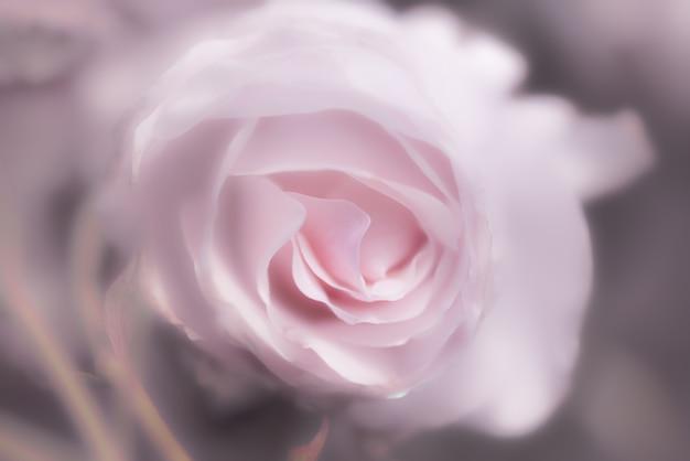 rose rose en arri u00e8re