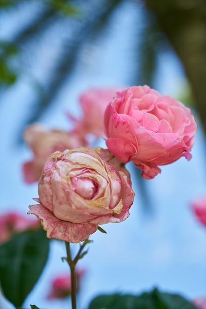 roses avec l u0026 39 arri u00e8re