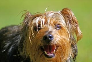 yorkshire terrier, en plein air Photo gratuit