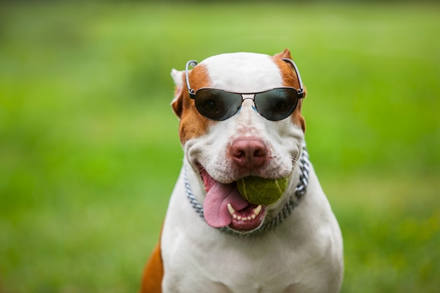 Occhiali da sole da portare del cane divertente adorabile Foto Premium