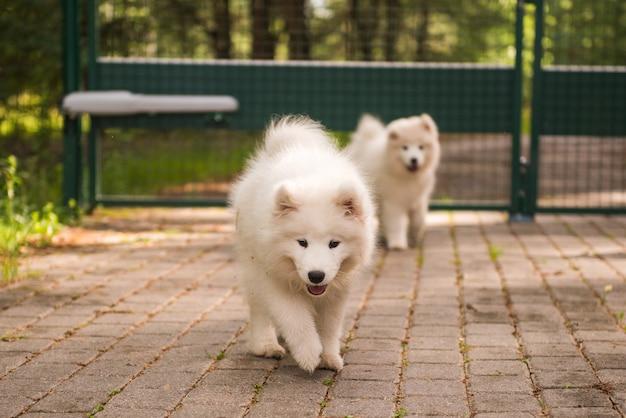 Adorabile cucciolo di cane samoiedo lanuginoso bianco sta camminando nel cortile Foto Premium