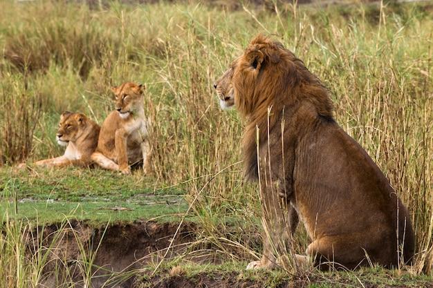 Seduta adulta del leone e due leonesse, vista laterale Foto Premium