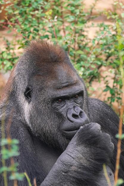 Gorilla di pianura occidentale maschio adulto, (gorilla gorilla gorilla), con vegetazione e rocce Foto Premium